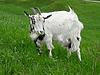 Photo 300 DPI: White goat on grass