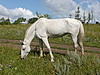 ID 3011012 | Weißes Pferd | Foto mit hoher Auflösung | CLIPARTO