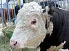 年轻的牛   免版税照片