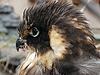 Nesting hawk   Stock Foto