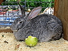 Rabbit with apple | Stock Foto