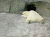 ID 3011020 | Schlafender weißer Polarbär | Foto mit hoher Auflösung | CLIPARTO