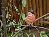 Small bullfinch   Stock Foto