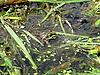 ID 3011028 | Grüner Frosch im Teich | Foto mit hoher Auflösung | CLIPARTO