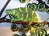 Photo 300 DPI: Green chameleon