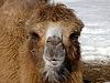 骆驼   免版税照片