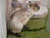 Capybara | Stock Foto