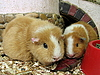 Photo 300 DPI: Guinea pigs