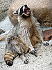 Jawing raccoon | Stock Foto