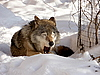 Photo 300 DPI: Jawing wolf on snow