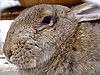 Photo 300 DPI: Large hare