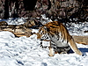 Photo 300 DPI: Moving tiger