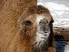 ID 3011058 | Kamel  | Foto mit hoher Auflösung | CLIPARTO