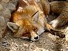 Фото 300 DPI: Красная лиса