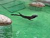 Фото 300 DPI: морской котик