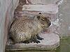 Single capybara | Stock Foto