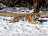 ID 3011070 | Tiger im Schnee | Foto mit hoher Auflösung | CLIPARTO