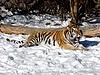 Tiger on snow | Stock Foto