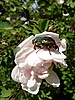 흰 꽃에 딱정벌레 | Stock Foto