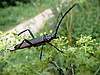 Beetle z dużymi antenami | Stock Foto