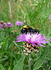 Trzmiel na purpurowy kwiat | Stock Foto