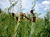 Photo 300 DPI: Large dragonfly