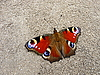 Photo 300 DPI: Peacock butterfly on ground