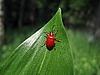 Red bug na liściu | Stock Foto