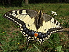 Yellow swallowtail butterfly | Stock Foto