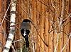 Bullfinch   Stock Foto