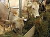 奶牛在农场   免版税照片