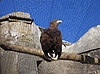 Photo 300 DPI: Eagle in zoo