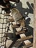 ID 3011991 | Waschbär auf der Leiter | Foto mit hoher Auflösung | CLIPARTO