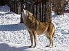 Фото 300 DPI: волк воет