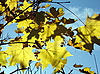 Photo 300 DPI: Yellow maple leaves