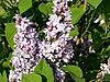 Niebieski liliowy | Stock Foto