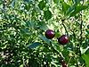樱桃 | 免版税照片