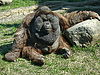 Orangutan | Stock Foto
