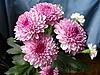 Pink chrysanthemums | Stock Foto