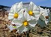 Фото 300 DPI: Картофельные цветы