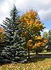 가을 나무와 firtree   Stock Foto