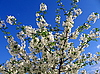 Blossoming tree | Stock Foto