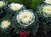 ID 3012329 | Cabbage | High resolution stock photo | CLIPARTO
