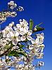 Cherry-tree | Stock Foto