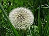 Dandelion in field | Stock Foto