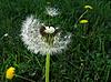 Dandelion | Stock Foto