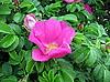 Dog-rose | Stock Foto