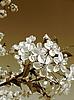 Flowers of cherry-tree | Stock Foto