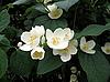 Jasmine flowers | Stock Foto