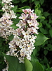 Lilac flowers | Stock Foto